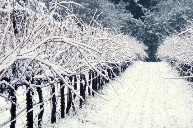 Snow-covered California Pinot Noir Vineyard